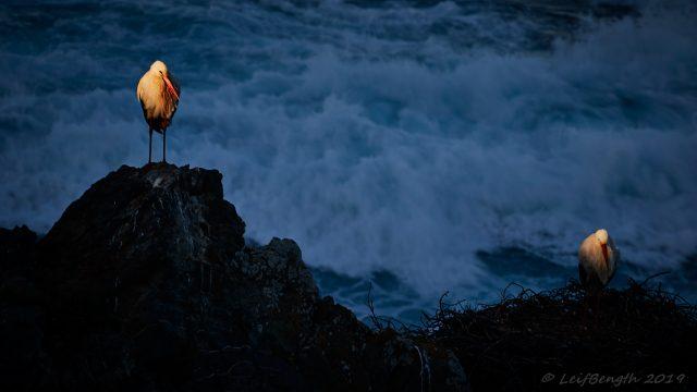 Vita storkar