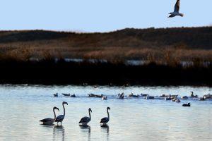 Flamingos och en trut...