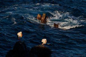 Vita storkar på klipporna...