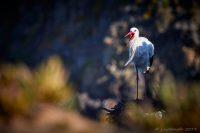 Vit stork…