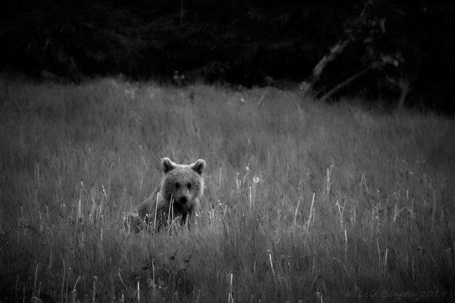 Teddybjörnen