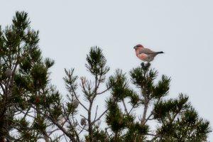 Toppfågel