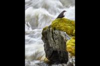 Strömstare Silvhytteå