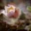 Den mjuka blomman