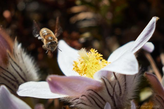 Sippor och bin