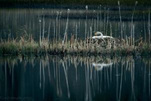 Sångsvan i Bysjön