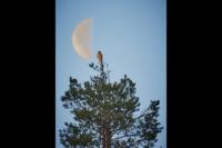 Falken och månen