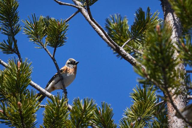 Bergfink i talltopp