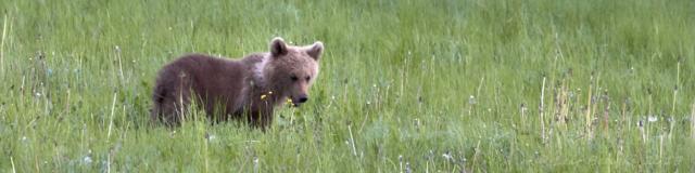 Ungbjörnen