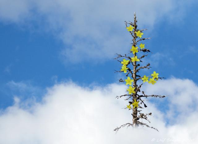 Det blommar i torrtopparna ovan där....