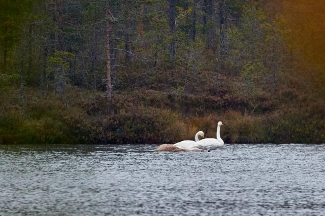 Sångsvanar i Spitaalijärvi