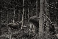 På älgskogen…