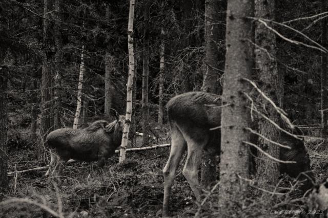 På älgskogen