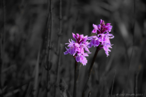 Orkidé på Flatruet mm