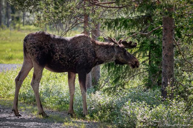 Ålgtjuren - Ståtlig, välgödd och vacker