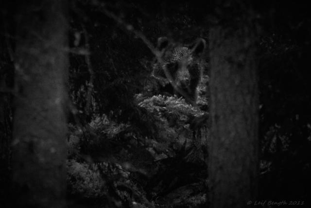 Björnen i skogen hemmavid