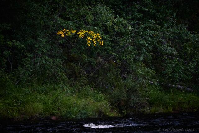 Höstlöv vid Rotälven