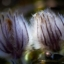 Mosippan - Den mjuka blomman