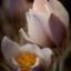 Blommande tjölåtuppur i kvällsljus