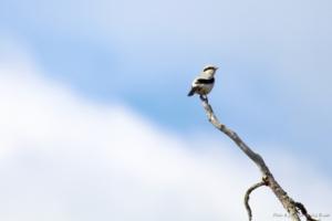 Tio geddtjennfåglar och en glädjande nyhet