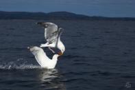 Seabirds Skardsöya