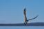 En havsörnsblandning...