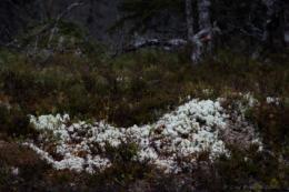 Lite vitt på skogarna
