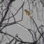 En guldsiska i en björktopp