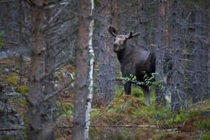 En morgon i skogarna...